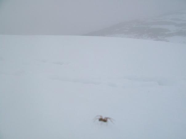 A lone spider on the snowbound Mount Ulriken.